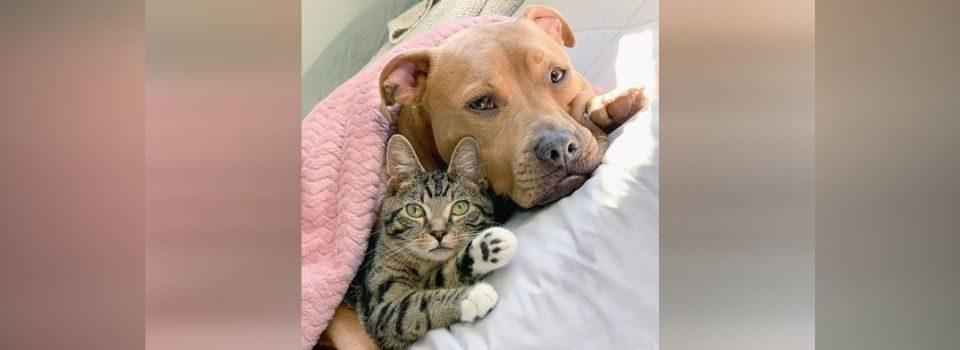 Pit Bull Resgatado se Apaixona por Gatinho e Forma a Amizade mais Linda