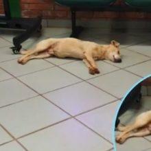 """Cachorro Caramelo """"Invade"""" sede do Detran para se refrescar com ar-condicionado"""
