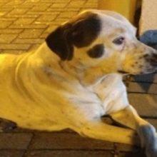 Cachorro perdido corre por quilômetros seguindo a ambulância que estava carregando seu dono