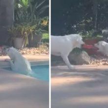 Cachorro usa Brinquedo para Resgatar seu Irmão que Caiu na Piscina