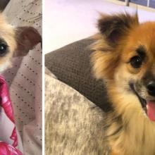 """Cachorro abandonado passa da """"vida nas ruas para lençóis de seda"""" ao ser adotado por família"""