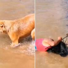 Cachorro pensa que sua dona está se afogando, entra no rio e puxa ela pelo cabelo para resgatá-la