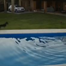 Cachorra é Filmada Salvando a Vida de Cadela Idosa que Caiu na Piscina