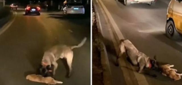 Cachorro é gravado tentando ressuscitar um gato que ele encontrou no meio da rua após ser atropelado