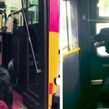 Cão pega ônibus sozinho todo os dias para ir ao parque e depois pega o ônibus para casa novamente