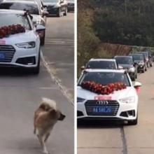 Ele não foi convidado para o casamento de sua dona, mas a perseguiu por 9 km para mostrar seu amor