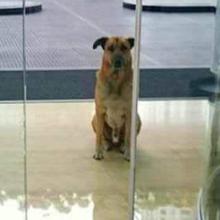 Aeromoça adotou um cachorro que estava sempre esperando ela na porta do hotel