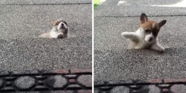 Cachorrinho com Pernas Curtas Chora Quando Pensa que não vai Conseguir Subir o Degrau