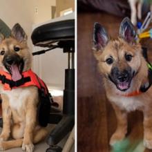 Cachorro com paralisia dá seus primeiros passos após tratamento médico