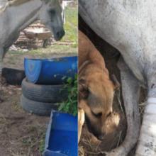 Cachorro faz Companhia e da Proteção a Cavalo com Pata Machucada