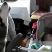 Cachorro Tenta Consolar seu Irmão Bebê Cantando para Ele Parar de Chorar