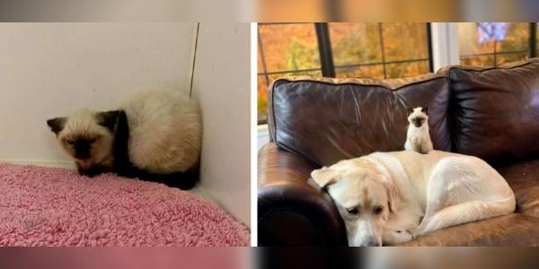 Gatinho Rabugento de um Abrigo se Transforma com a Ajuda de um Cachorro Gigante