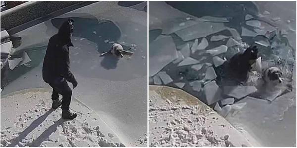 Cachorro afunda em piscina congelada e seu dono precisa agir imediatamente para salvá-lo