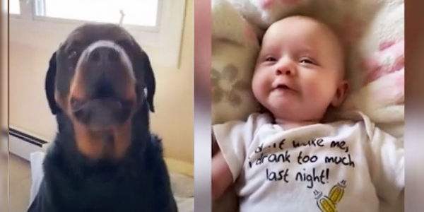 Cachorro Rottweiler orgulhoso mostra para bebê como dizer 'mamãe'