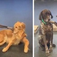 Cão adorável gosta de acariciar outros cães na creche, os cachorros ficam confusos mais aceitam