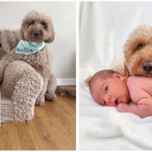 Cachorro adorável insiste em fazer parte da sessão de fotos do recém-nascido de seu irmão bebê e as fotos são perfeitas