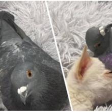Chihuahua que não consegue andar se torna o melhor amigo do pombo que não consegue voar, e suas fotos são adoráveis