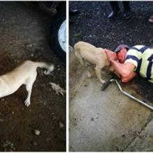 Um cachorro corre no meio do trânsito, arriscando sua vida, implorando por ajuda para seu dono ferido