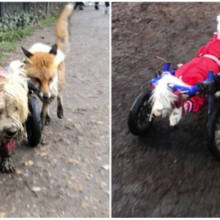 Um cachorro em uma cadeira de rodas se torna um cão-guia para uma raposa cega