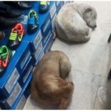 Dono de loja de sapatos abre as portas para que cães de rua durmam e se protejam da chuva