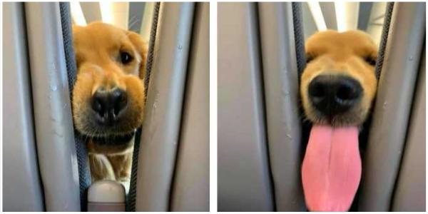 Esse cãozinho sabe como manter os passageiros entretidos em voos longos