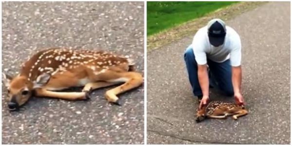 Homem salva corça paralisada de medo no meio da estrada movimentada