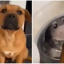 Cachorrinho aguarda ansioso enquanto seu amigo de pelúcia é lavado