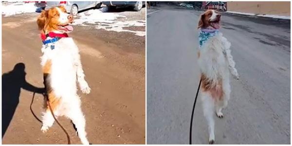 Cão determinado aprende a andar reto como humano depois de perder a pata