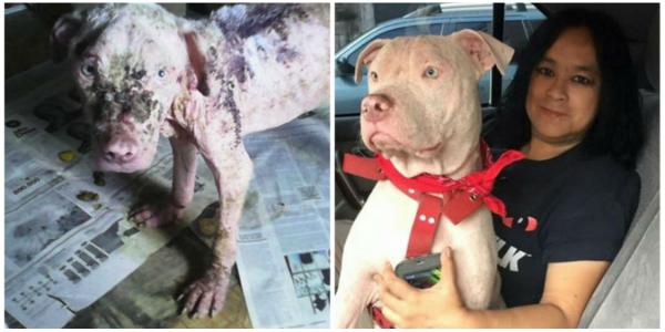 Ela resgatou este pit bull abandonado, desnutrido e doente de pele … A vida dele é um milagre!