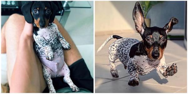 Filhote de cachorro nasce com o corpo preto e branco de uma vaca