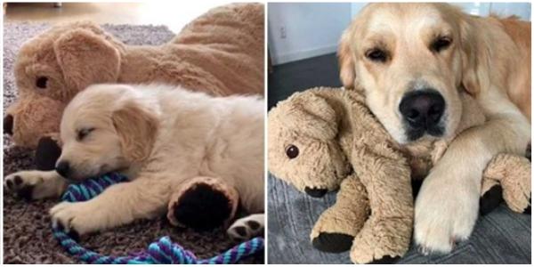 O cachorrinho cresceu com seu amado ursinho de pelúcia, e agora não se separa dele nem por um segundo