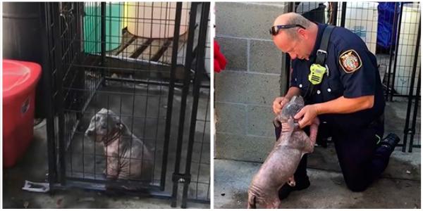 Pequeno pitbull encontra felicidade sendo adotado pelo bombeiro que o salvou