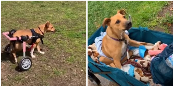 Mulher transforma a vida de cadelinha que foi jogada de carro em movimento e ficou paralítica