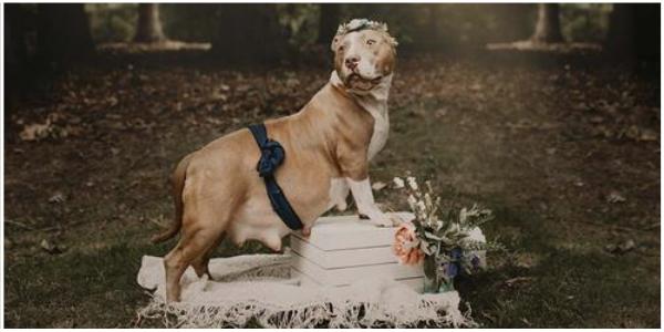 A doce pitbull resgatada brilha em sua própria sessão de fotos de maternidade
