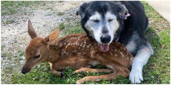 Cachorra abraça e cuida de cervo doente até encontrarem um lar