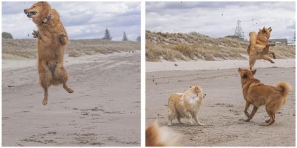A cachorrinha adora tanto a praia que não consegue parar de pular de alegria