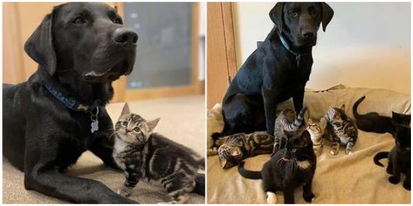 Cachorro resgatado ajudou a criar 7 gatinhos órfãos de mãe