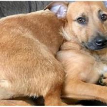 Cachorro caramelo resgatado encontra seu irmão gêmeo nas ruas e implora à mãe que o adote