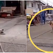 Cachorro caramelo finge ter pata quebrada para ganhar comida e carinho de quem passa por perto