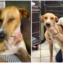 Após uma longa agonia, o cão resgatado com uma flecha no pescoço consegue a melhor família