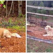 Cachorro de 3 patas chora sobre o túmulo de seus amigos do santuário toda vez que um amigo morre