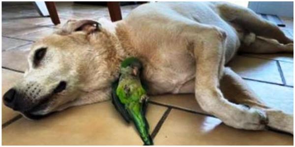 Cachorro salva um papagaio que caiu de um ninho e não sai do seu lado para sobreviver