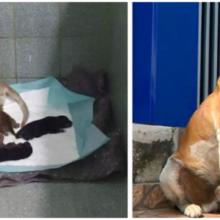 Cachorro sem-teto inteligente vai ao veterinário para ter seus filhotes enquanto o pai espera do lado de fora