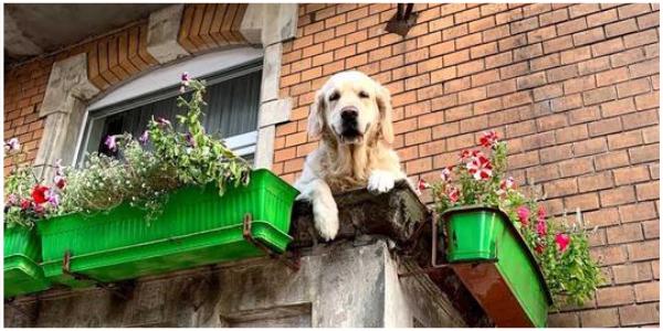 Este 'cachorro na varanda' se tornou uma atração local para turistas