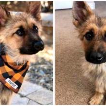 O pastor alemão de 2 anos tem nanismo e sempre se parecerá com um cachorrinho