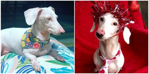 Um cachorro albino que foi rejeitado por sua aparência, finalmente encontrou uma família e agora curte sua nova vida