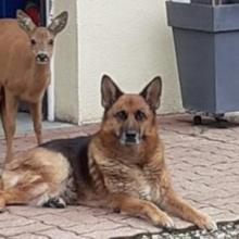 Cachorro acolhe uma corça perdida por 3 dias e cuida dela dos humanos, nunca a deixou sozinha