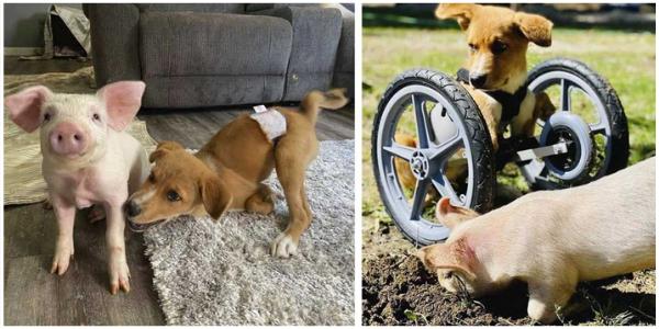 Porco e cachorrinho com necessidades especiais tornam-se melhores amigos